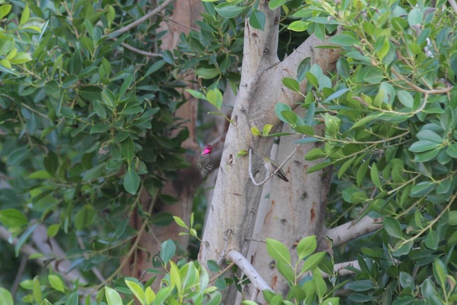 Anna's Hummingbird 122312-2