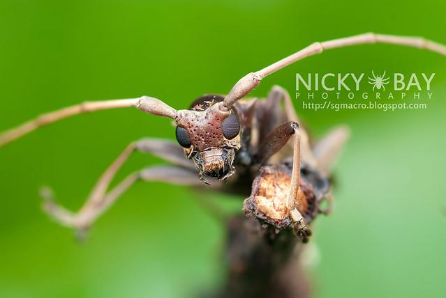 Mangrove Longhorn Beetle (Acalolepta rusticatrix) - DSC_0960