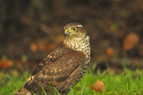 bird garden denmark nikon sparrowhawk fyn d90