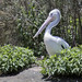 Small photo of A bird in the hand is worth a pelican in a bush
