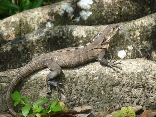 Hacienda Baru National Wildlife Refuge - hagedis