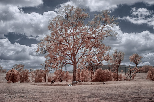 animals clouds colorinfrared cows infrared tree canoneos50d 28300mm