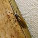 Small photo of Lagria hirta. (Tenebrionidae>Alleculinae)