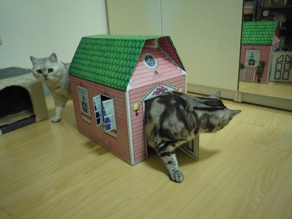 16叩逃比較沒有那麼瘋狂,不過貓都超愛躲在紙箱裡的。