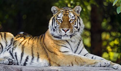 [フリー画像素材] 動物 (哺乳類), 虎・トラ ID:201301201000