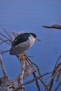 Black-crowned Night Heron at Dusk