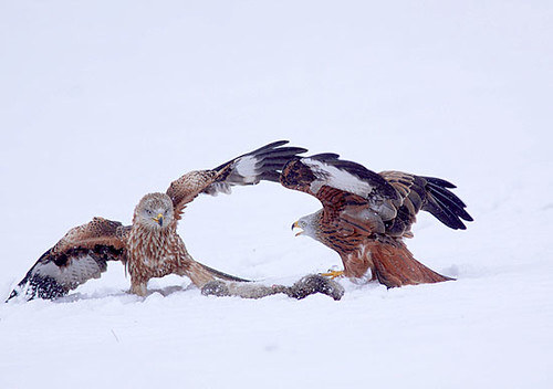 Red Kite in snow by Paul Miguel