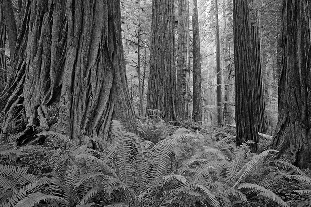 Redwood National Park: Protective forest