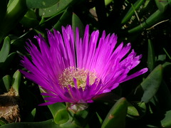 blossom(0.0), wildflower(0.0), cactus family(0.0), shrub(1.0), flower(1.0), plant(1.0), nature(1.0), macro photography(1.0), flora(1.0), ice plant(1.0), petal(1.0),