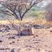 Small photo of Impala (Aepyceros melampus)