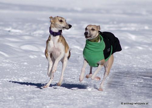 Micra und Camaro beim Whippettreffen Kaunertal