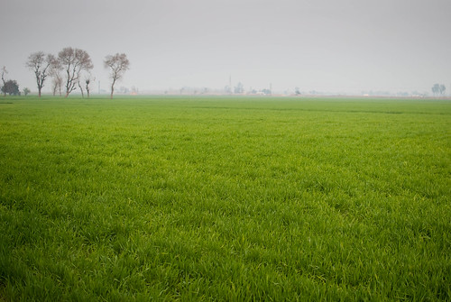 plant green nature field rural countryside wheat agriculture punjab amargarh