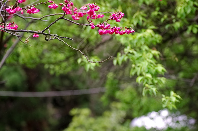 櫻櫻美代子 . 陽明山