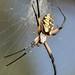 Yellow Garden Spider-2 by Mike Rodda