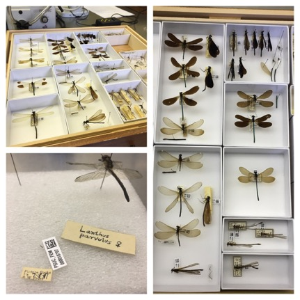 Collage of completed re-pinned Odonata in soft bottom trays.