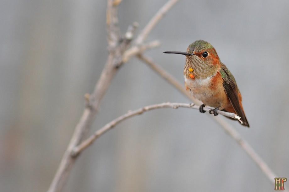 Allen's Hummingbird 120812