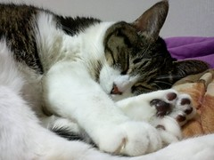 nose, animal, polydactyl cat, small to medium-sized cats, pet, mammal, european shorthair, american shorthair, cat, whiskers, manx, domestic short-haired cat,