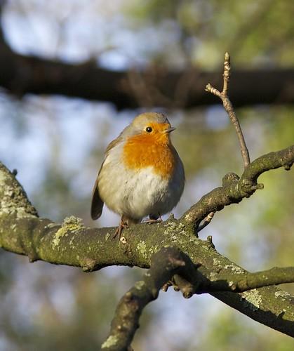 Robin by ralph.stewart