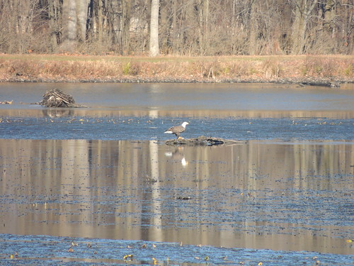 Bald Eagle Eating in Big Pond