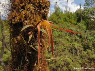 Maxillaria pachyacron floreciendo in situ, (distribución : Nicaragua, Costa Rica, Panama, Colombia y Ecuador desde 1000 hasta 1900 m snm), Valle del Dagua, Valle del Cauca, Colombia