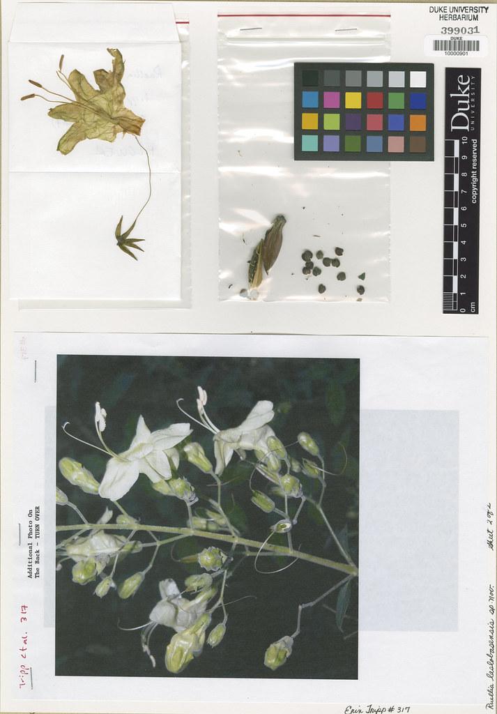 Acanthaceae_Ruellia laslobasensis2