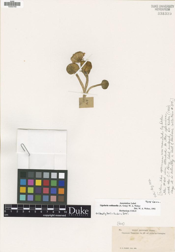 Asteraceae_Senecio soldanella2