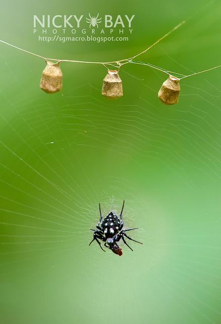 Orb Weaver Spider (Neogea nocticolor) - DSC_1287