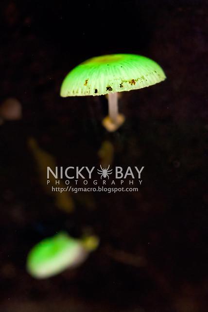 Bioluminescent Fungi (Mycena illuminans?) - DSC_1382