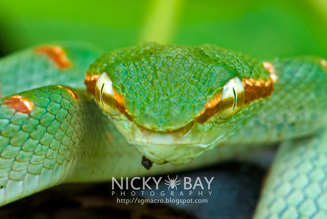 Wagler's Pit Viper (Tropidolaemus wagleri) - DSC_8860