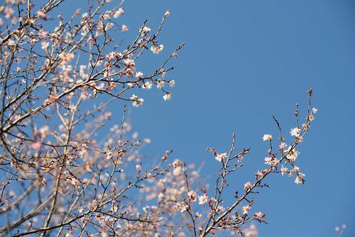 """""""October"""" Sakura"""