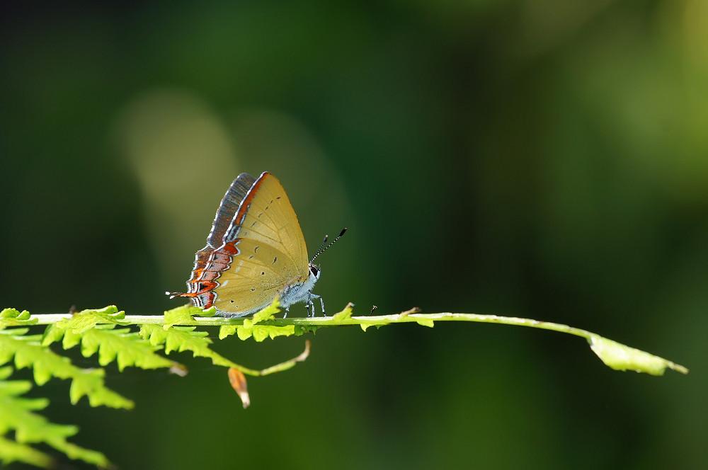 紫日灰蝶(紅邊黃小灰蝶)-03