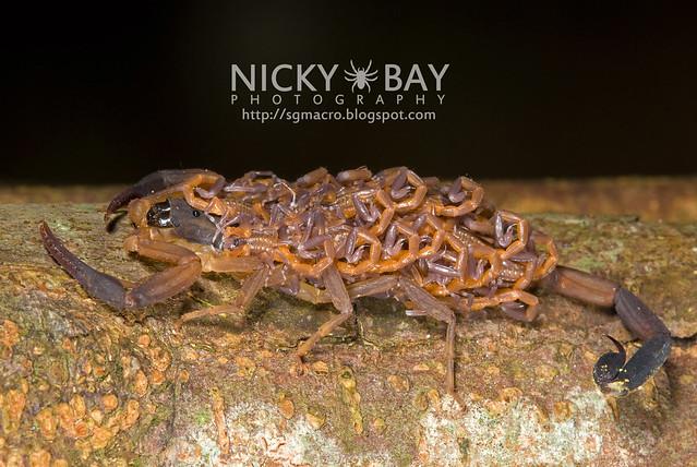 Scorpion (Lychas scutilus) - DSC_8955