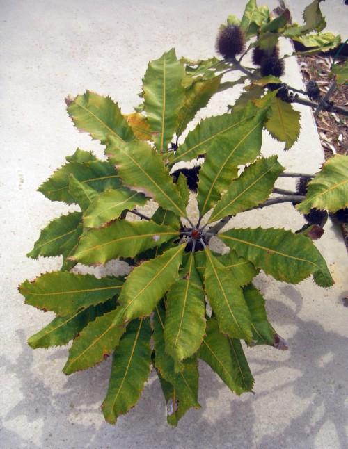 Banksia robur 8324356061_75550bd623_o