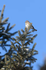 American Tree Sparrow_41693.jpg by Mully410 * Images