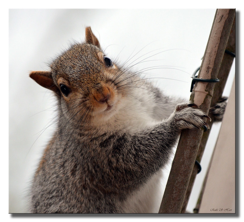 ~ Little Grey Squirrel ~