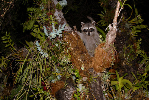 Raccoon With Epiphytes 2