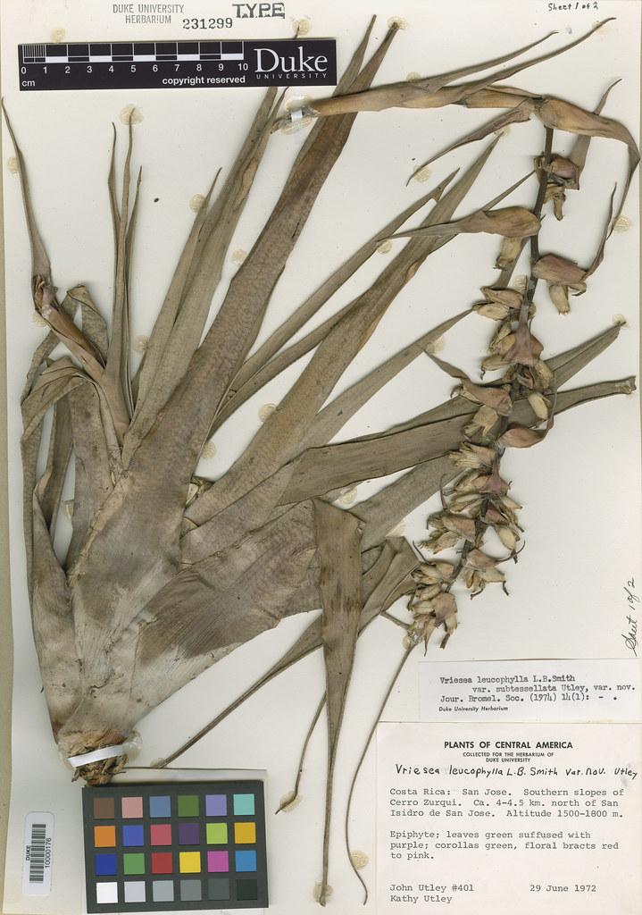 Bromeliaceae_Vriesea leucophylla2