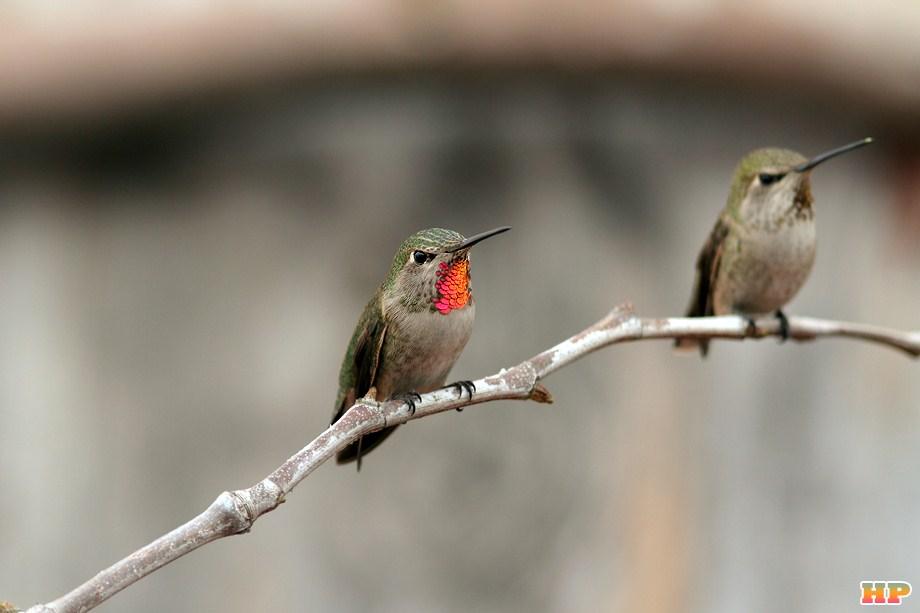 Anna's Hummingbird 010213-2