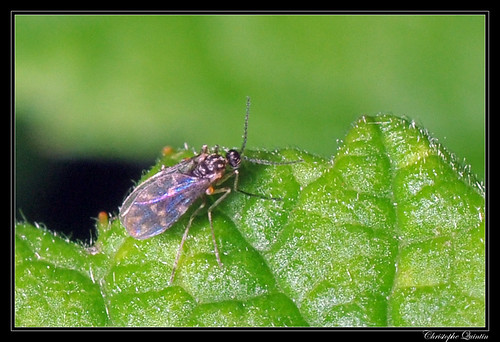 Culicoides sp. (groupe obsoletus ?)