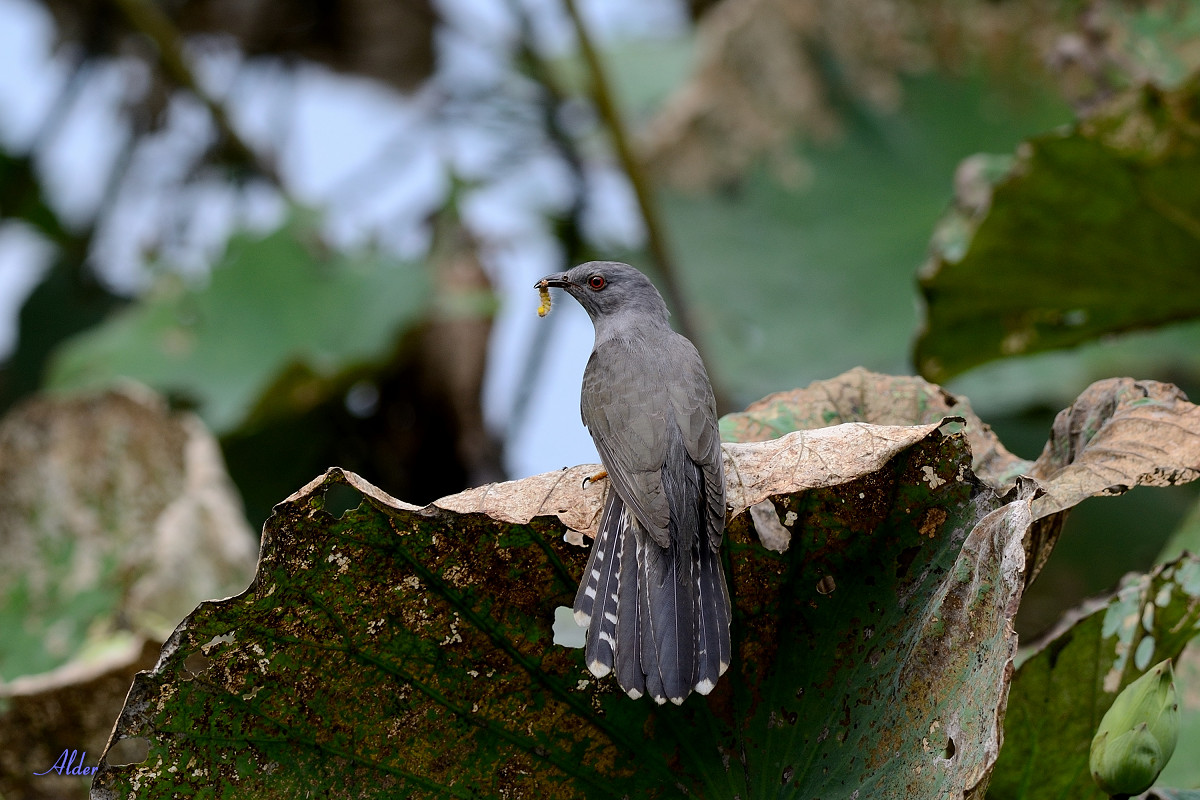 Plaintive_Cuckoo_2276