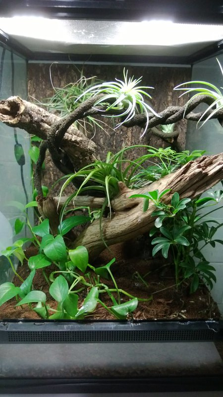 Crested Gecko Terrarium Pictures To Pin On Pinterest
