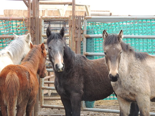 "horse nevada diamond nv land blm ""wild management"" horses"" burro"" ""bureau"