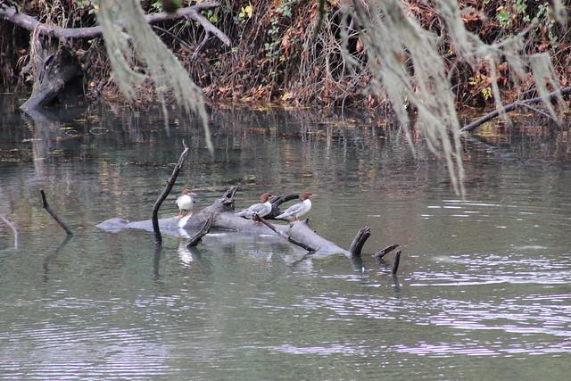 Geese, ducks