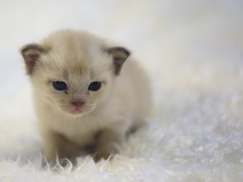 Sweet and tender burmese kitten by Dirigentens