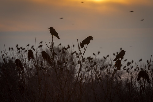 city trees winter sunset ny newyork bird nature birds outside outdoors sundown cloudy dusk flock scenic murder crows roosting rochesterny wny monroecounty dandangler