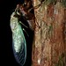 Small photo of Cicada (Cicadidae) after last molt