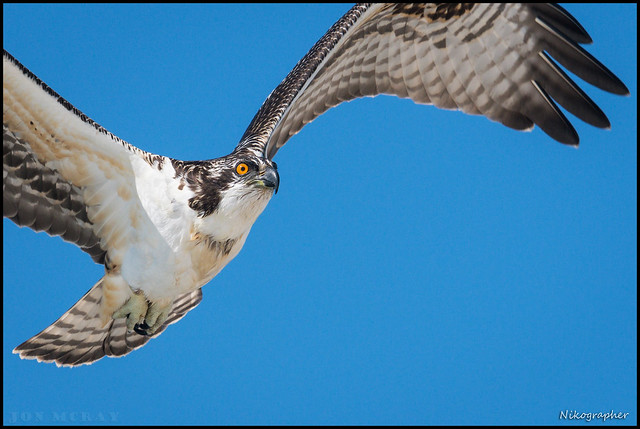 Juv. Osprey Hunting @ Cape May NJ