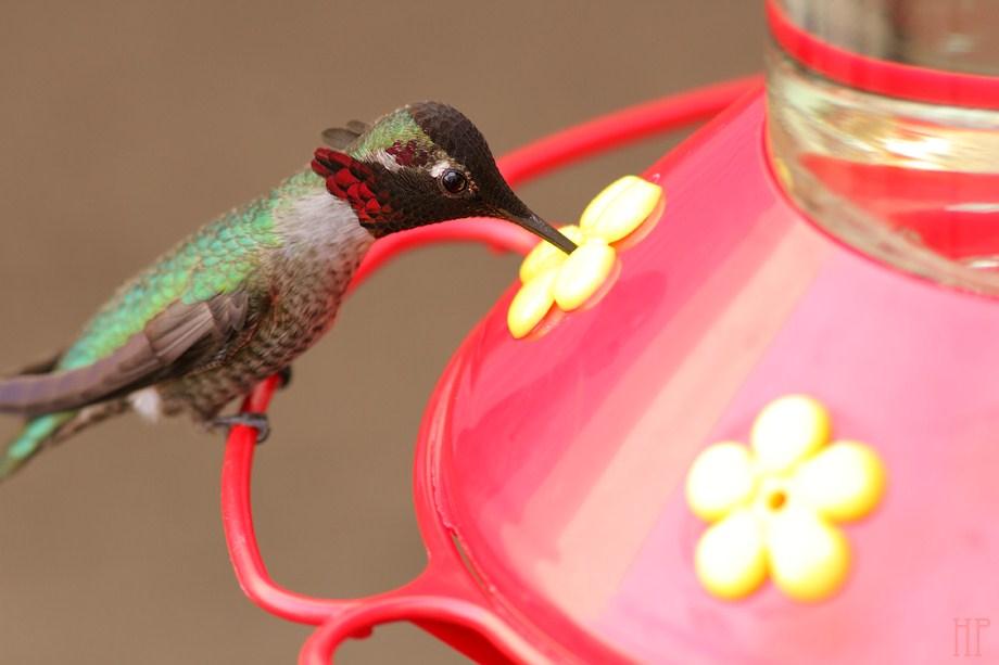 Anna's Hummingbird 120812-5