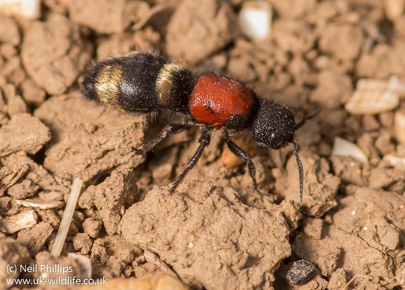 large velvet ant - Mutilla europaea 2