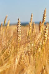 emmer, hordeum, prairie, agriculture, triticale, einkorn wheat, rye, food grain, field, barley, wheat, close-up, crop, cereal, plant stem, grassland,